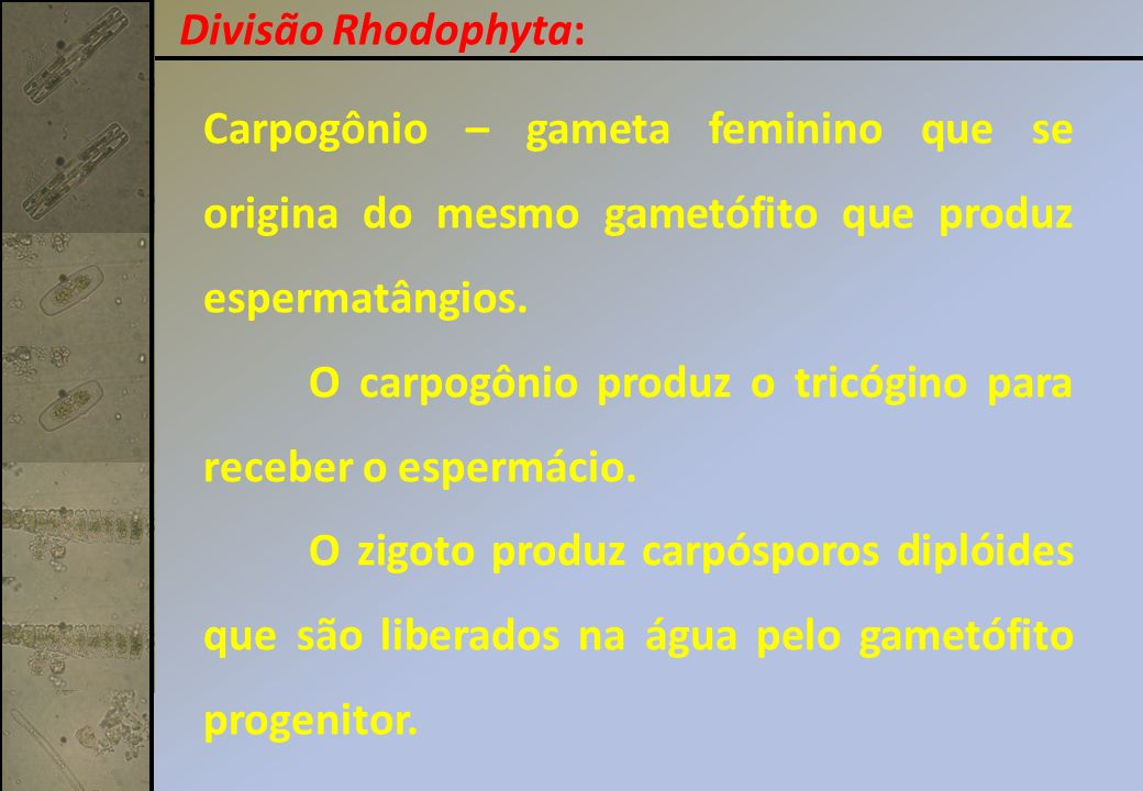 Divisão Rhodophyta: Carpogônio – gameta feminino que se origina do mesmo gametófito que produz espermatângios.