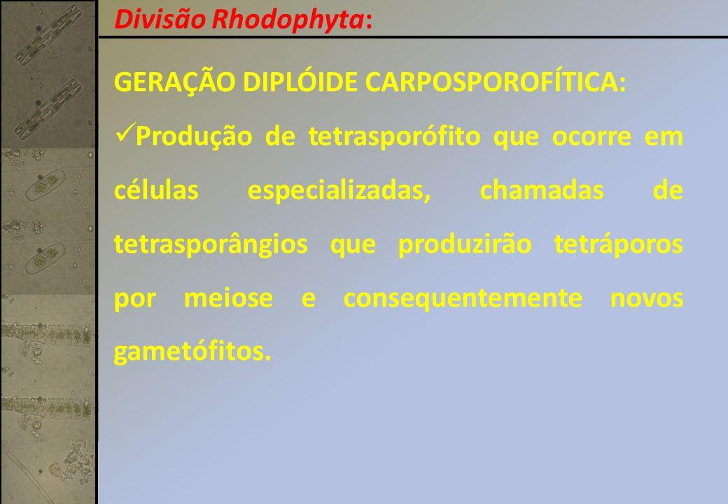Divisão Rhodophyta: GERAÇÃO DIPLÓIDE CARPOSPOROFÍTICA: