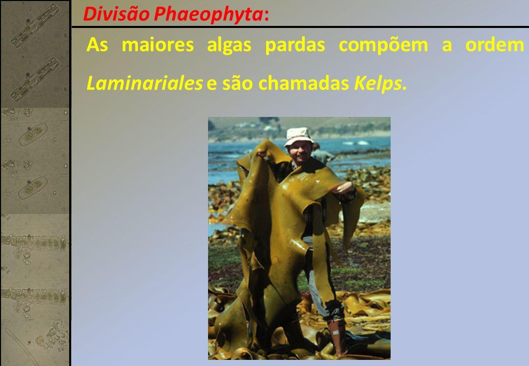 Divisão Phaeophyta: As maiores algas pardas compõem a ordem Laminariales e são chamadas Kelps.