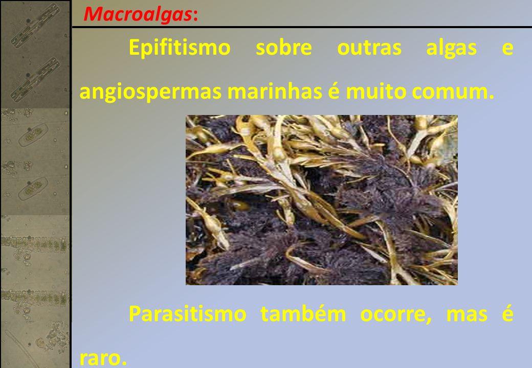 Epifitismo sobre outras algas e angiospermas marinhas é muito comum.