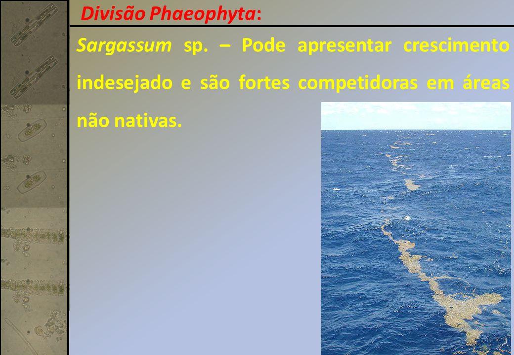 Divisão Phaeophyta: Sargassum sp.