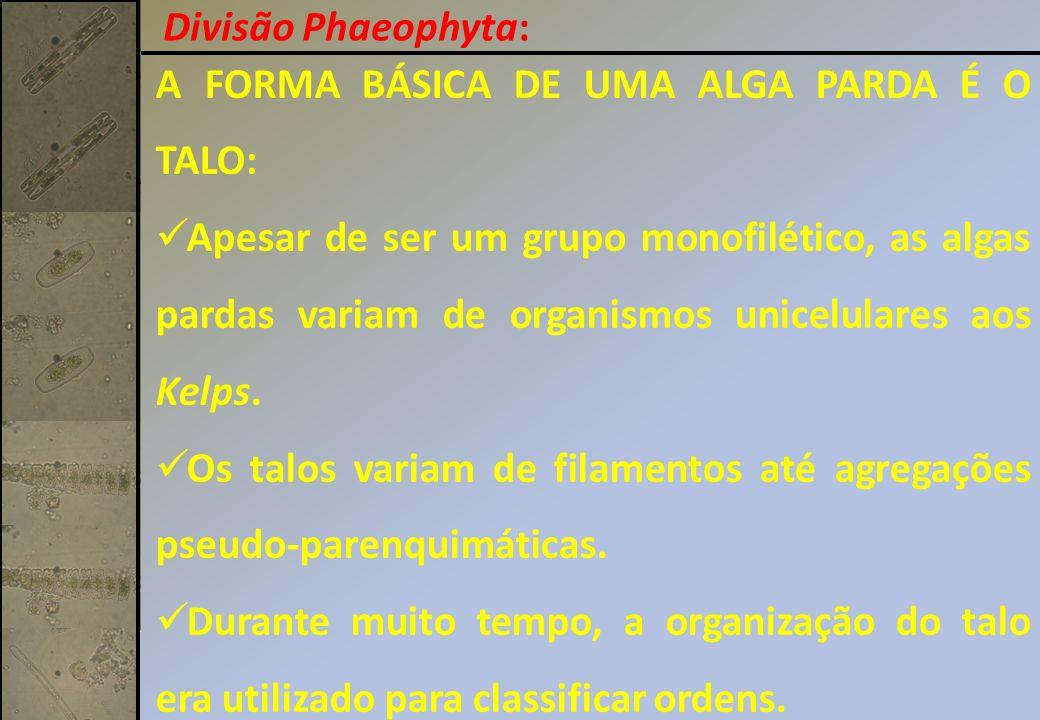 Divisão Phaeophyta: A FORMA BÁSICA DE UMA ALGA PARDA É O TALO: