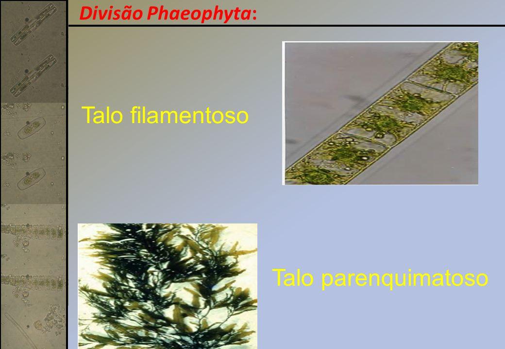 Divisão Phaeophyta: Talo filamentoso Talo parenquimatoso