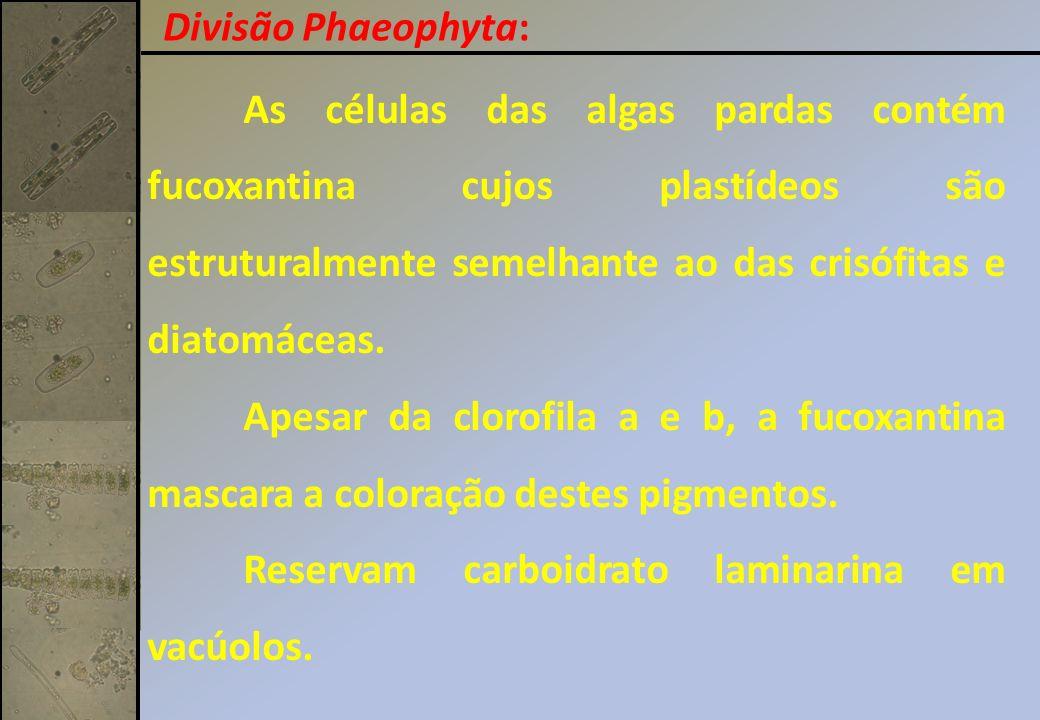 Divisão Phaeophyta: As células das algas pardas contém fucoxantina cujos plastídeos são estruturalmente semelhante ao das crisófitas e diatomáceas.