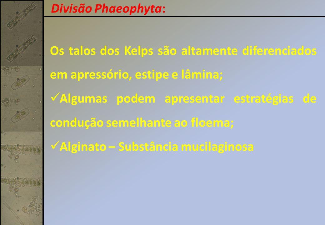 Divisão Phaeophyta: Os talos dos Kelps são altamente diferenciados em apressório, estipe e lâmina;