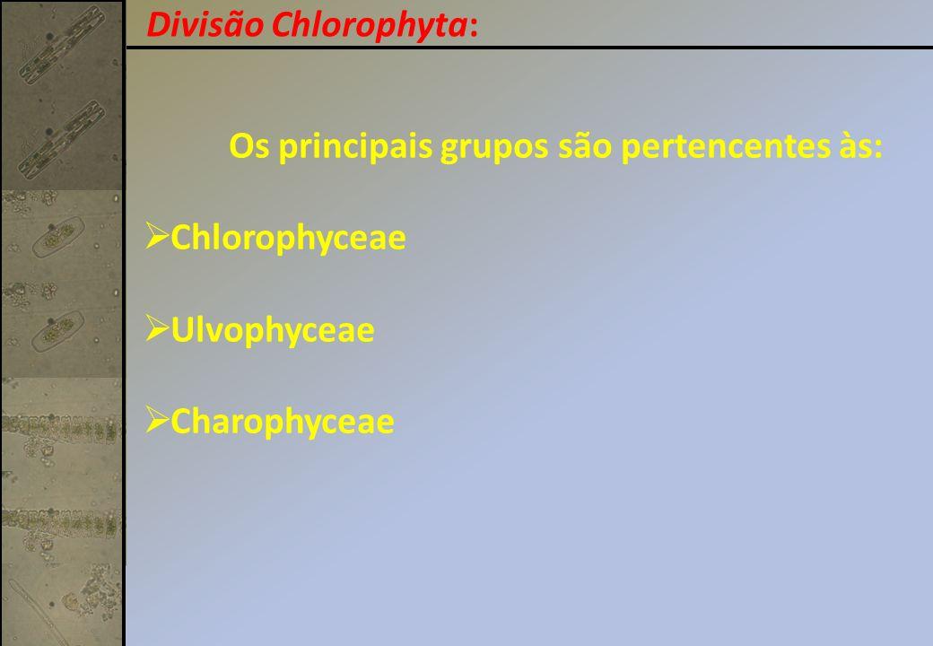 Divisão Chlorophyta: Os principais grupos são pertencentes às: Chlorophyceae.