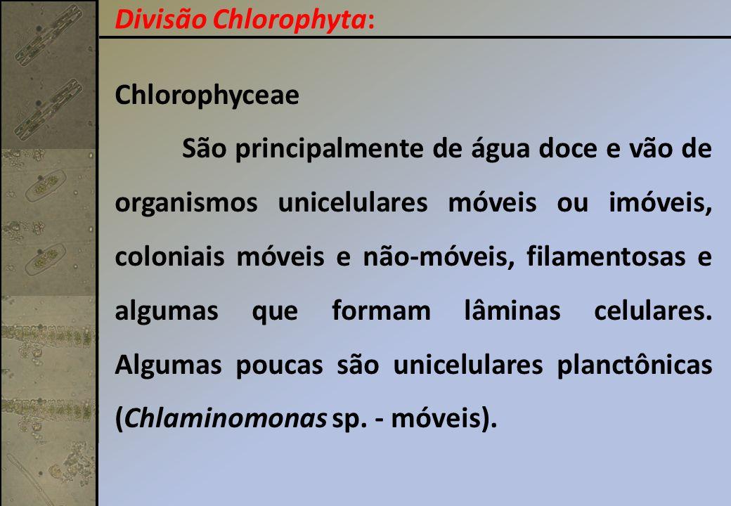 Divisão Chlorophyta: Chlorophyceae.