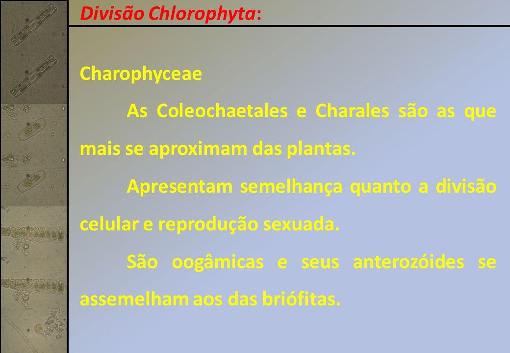 Divisão Chlorophyta: Charophyceae. As Coleochaetales e Charales são as que mais se aproximam das plantas.