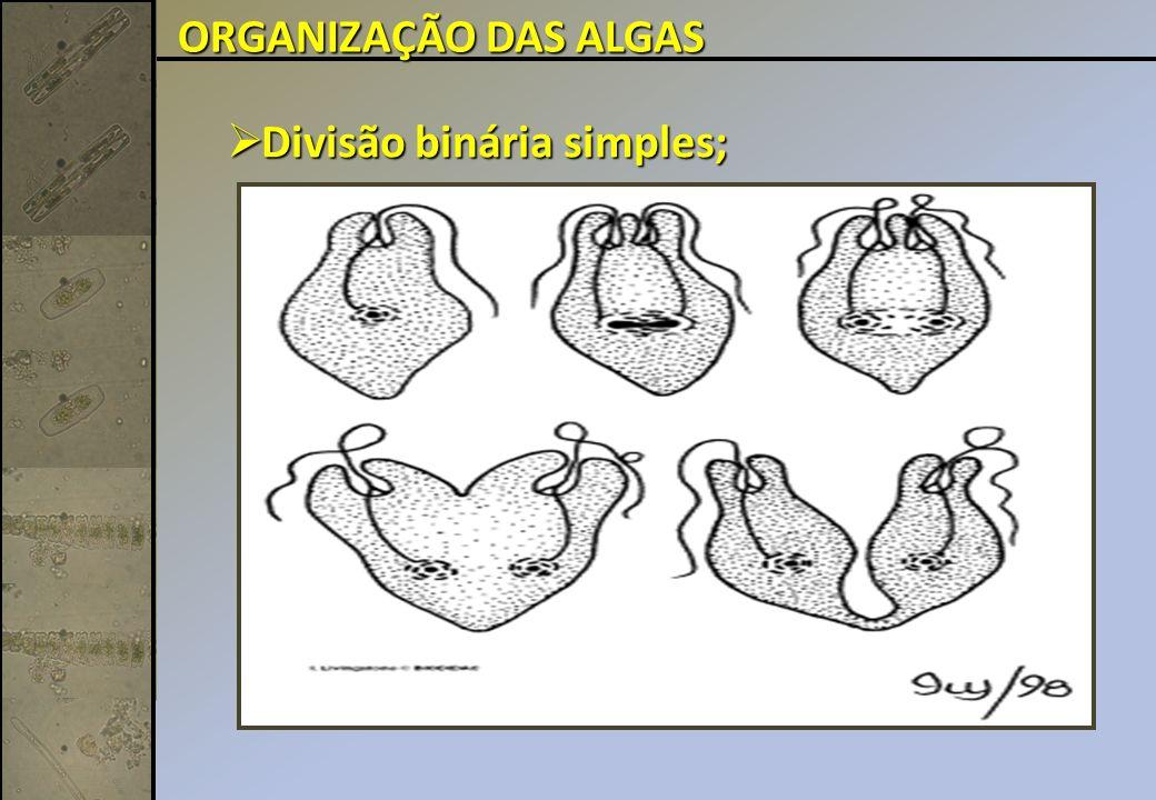ORGANIZAÇÃO DAS ALGAS Divisão binária simples;
