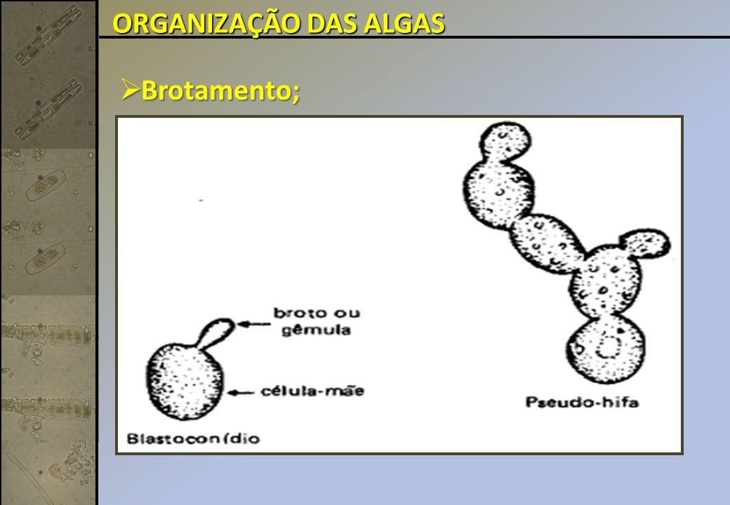 ORGANIZAÇÃO DAS ALGAS Brotamento;