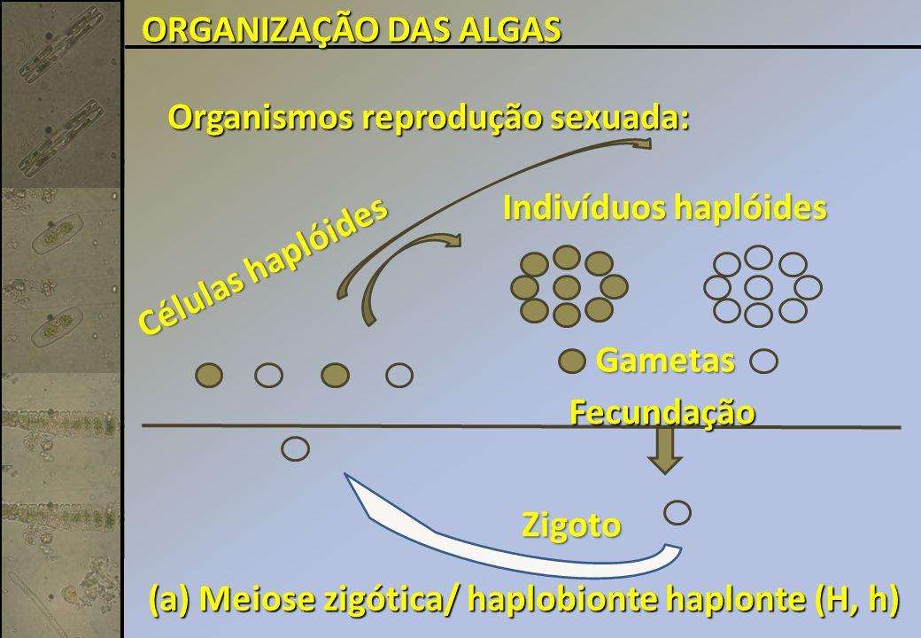 ORGANIZAÇÃO DAS ALGAS Organismos reprodução sexuada: Indivíduos haplóides. Células haplóides. Gametas.