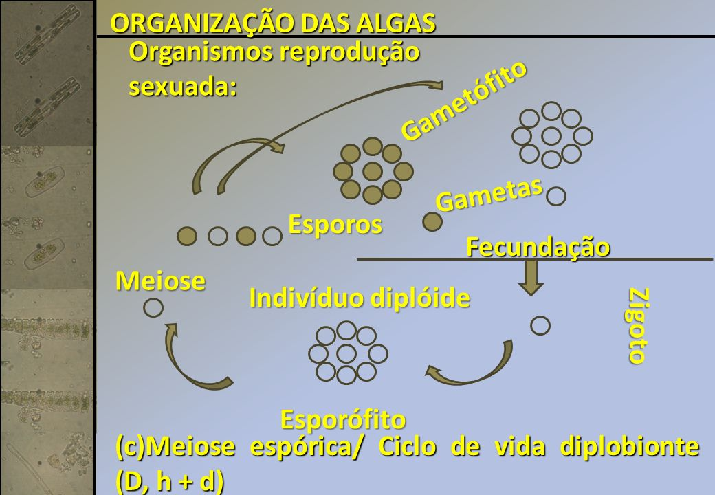 ORGANIZAÇÃO DAS ALGAS Organismos reprodução. sexuada: Gametófito. Gametas. Esporos. Fecundação.