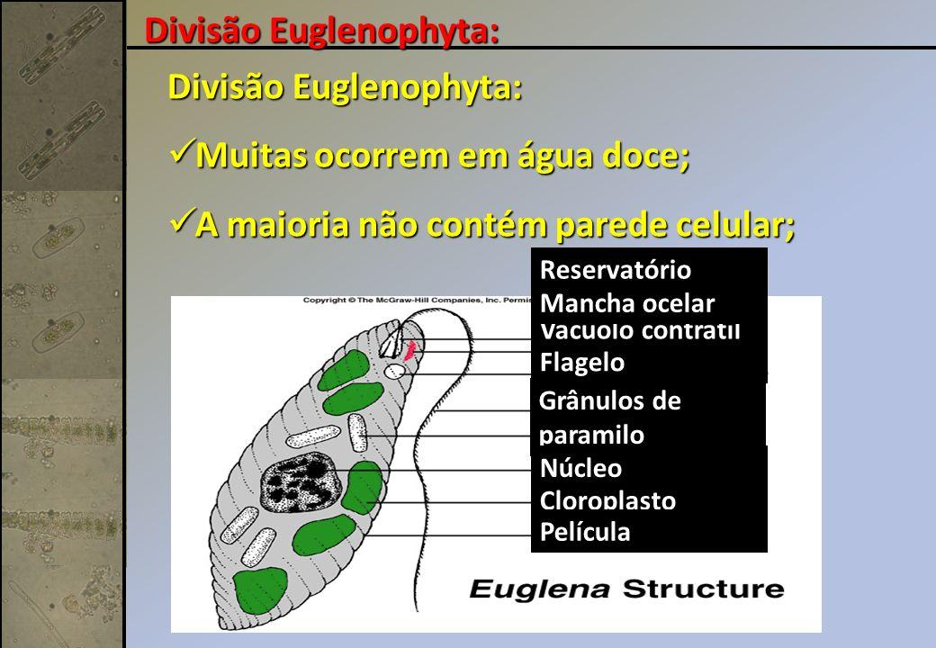 Divisão Euglenophyta: Divisão Euglenophyta: