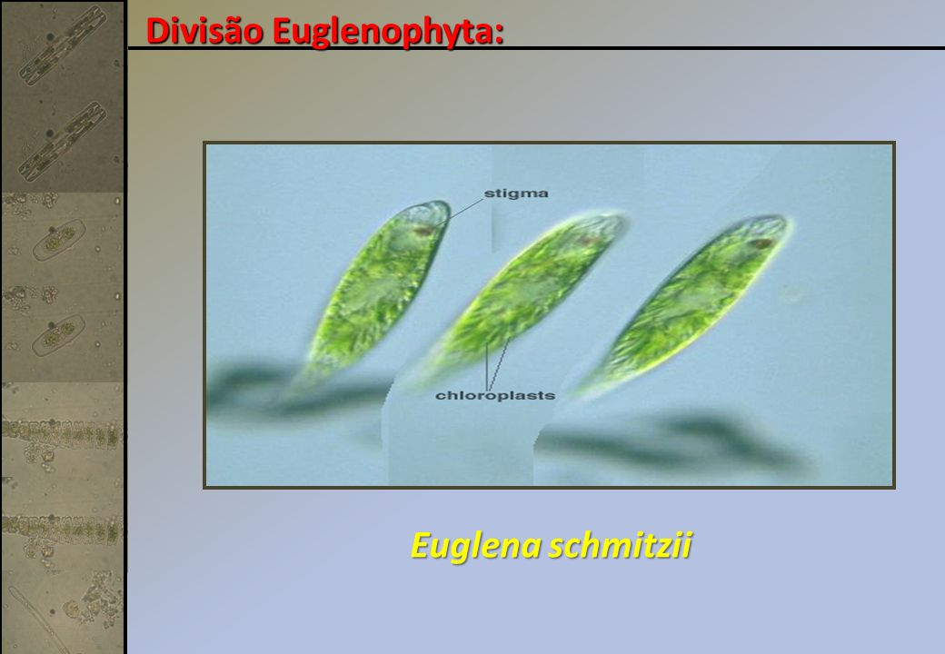 Divisão Euglenophyta: