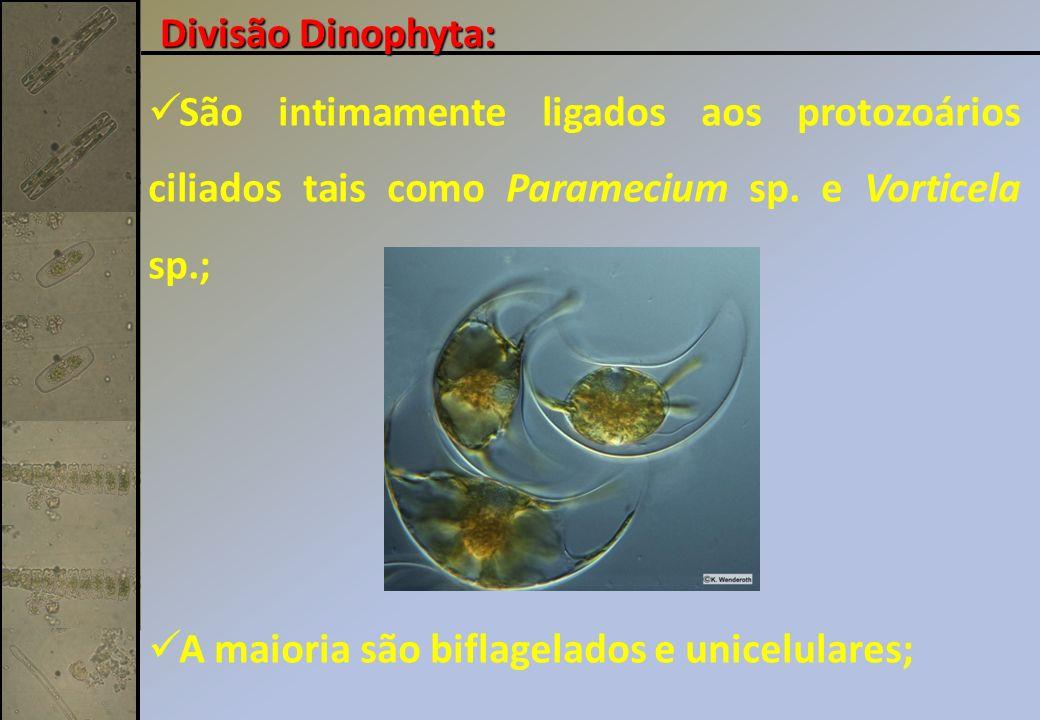 Divisão Dinophyta: São intimamente ligados aos protozoários ciliados tais como Paramecium sp. e Vorticela sp.;