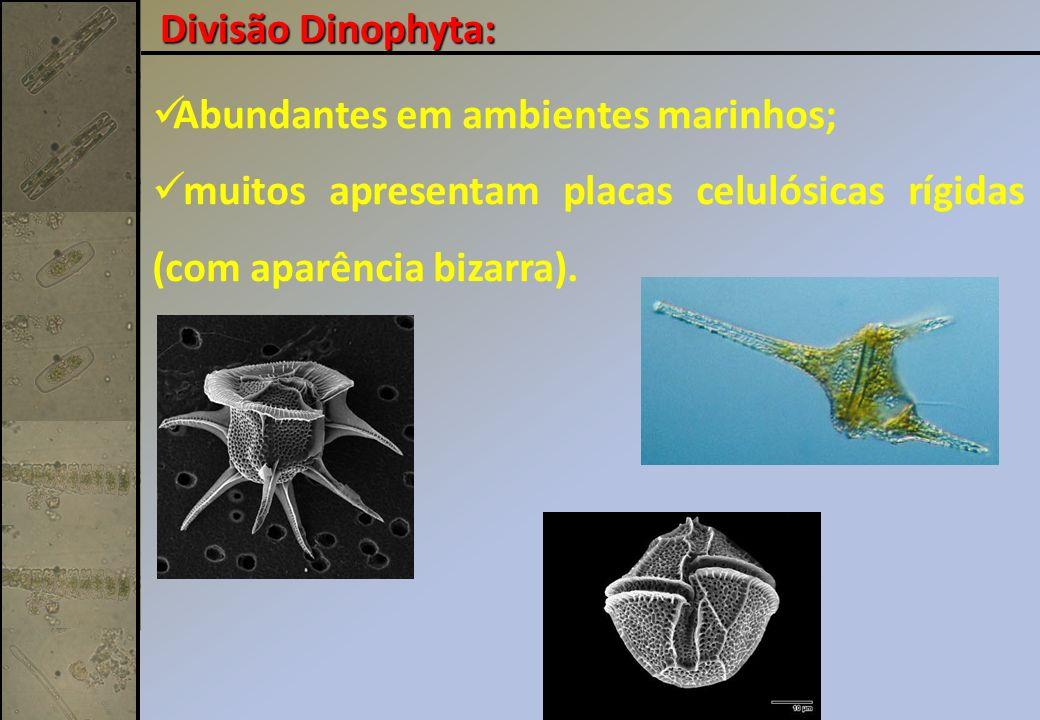 Divisão Dinophyta: Abundantes em ambientes marinhos; muitos apresentam placas celulósicas rígidas (com aparência bizarra).