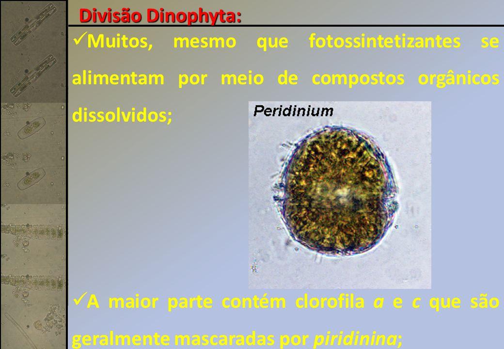 Divisão Dinophyta: Muitos, mesmo que fotossintetizantes se alimentam por meio de compostos orgânicos dissolvidos;