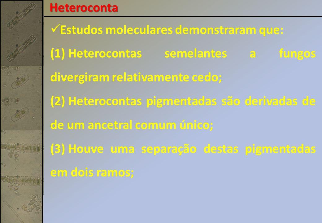 Heteroconta Estudos moleculares demonstraram que: Heterocontas semelantes a fungos divergiram relativamente cedo;