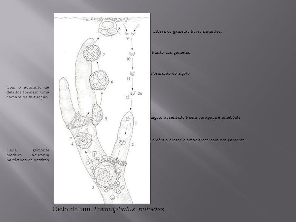 Ciclo de um Tremtophalus buloides.