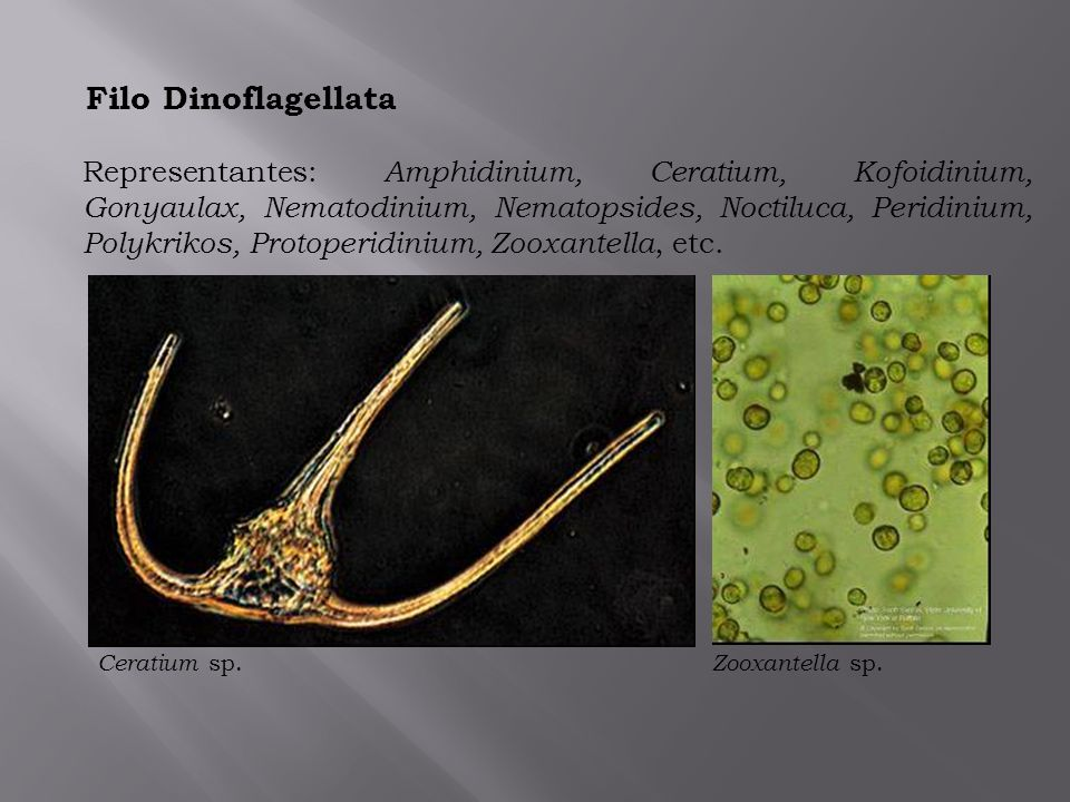 Filo Dinoflagellata