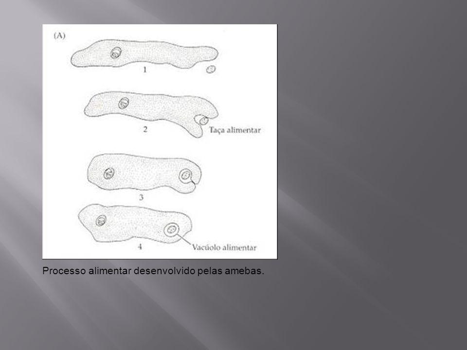 Processo alimentar desenvolvido pelas amebas.