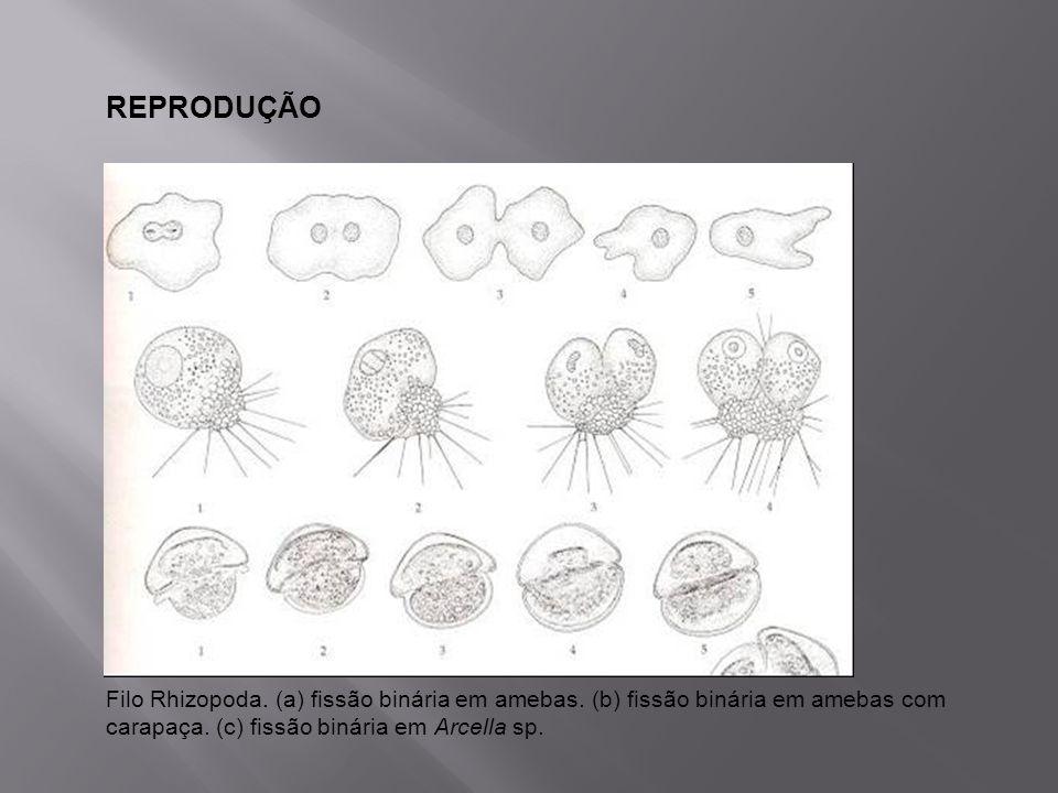 REPRODUÇÃO Filo Rhizopoda. (a) fissão binária em amebas.