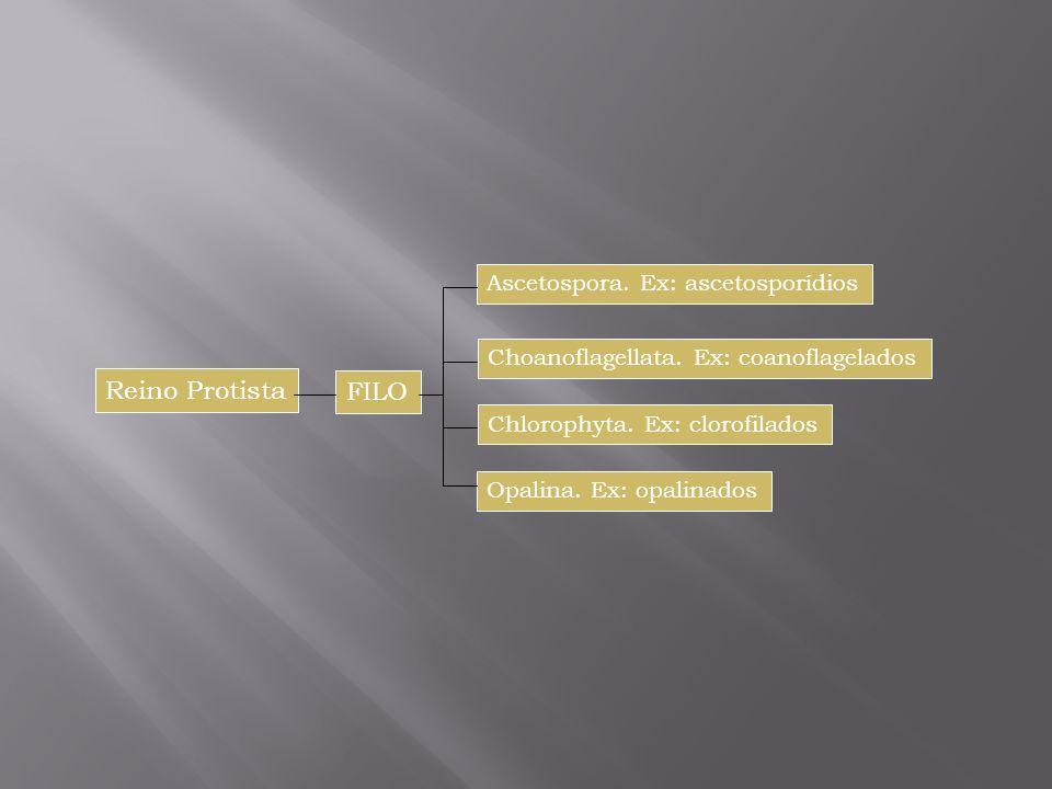 Reino Protista FILO Ascetospora. Ex: ascetosporídios