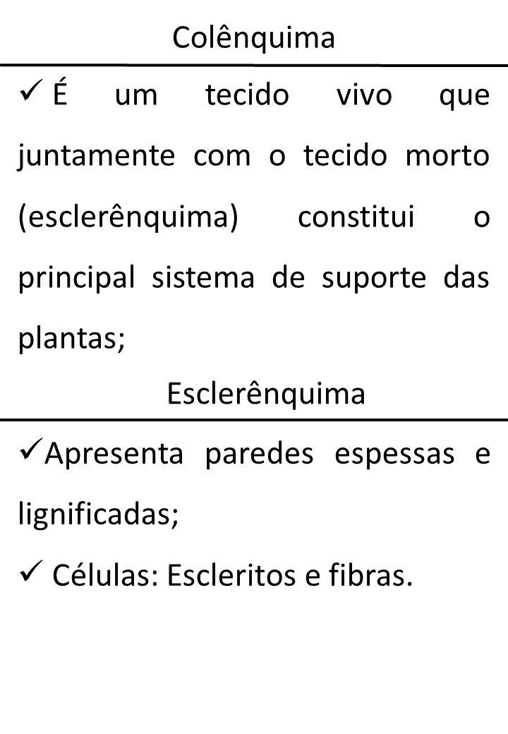 ColênquimaÉ um tecido vivo que juntamente com o tecido morto (esclerênquima) constitui o principal sistema de suporte das plantas;