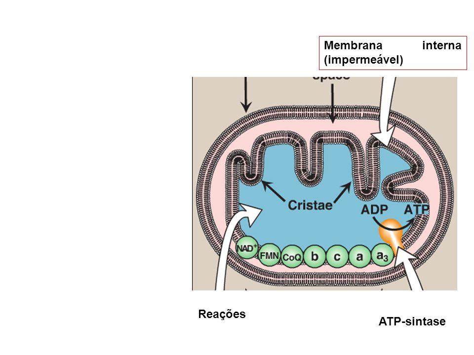 Membrana interna (impermeável)