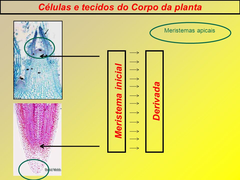 Células e tecidos do Corpo da planta