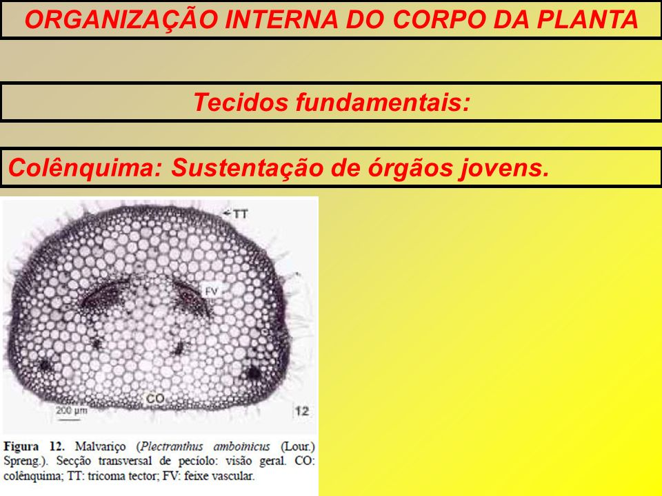 ORGANIZAÇÃO INTERNA DO CORPO DA PLANTA Tecidos fundamentais: