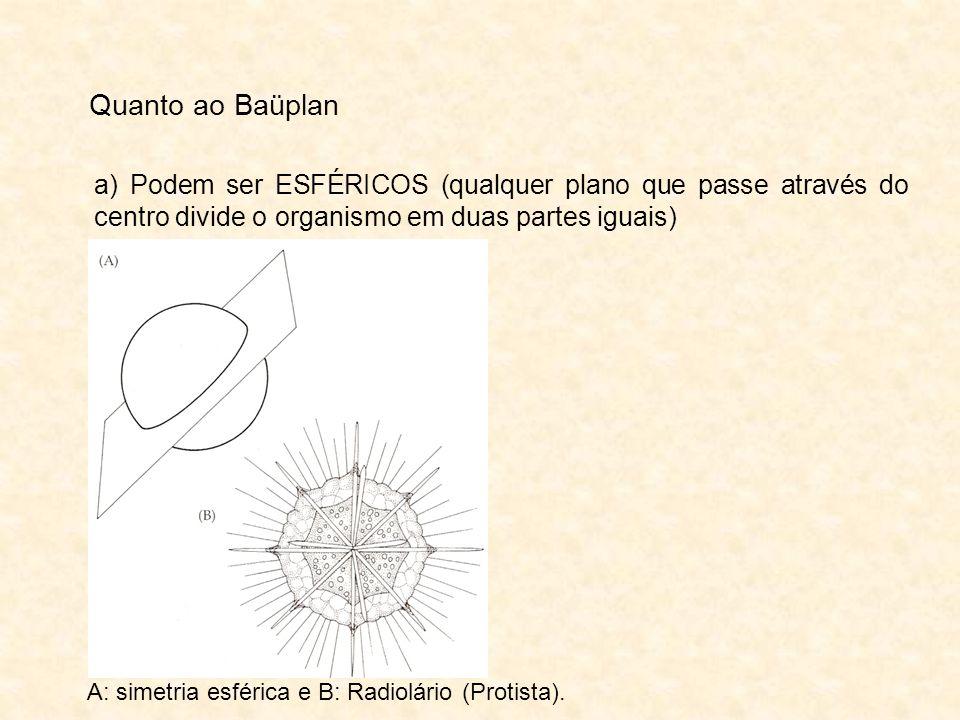 Quanto ao Baüplana) Podem ser ESFÉRICOS (qualquer plano que passe através do centro divide o organismo em duas partes iguais)