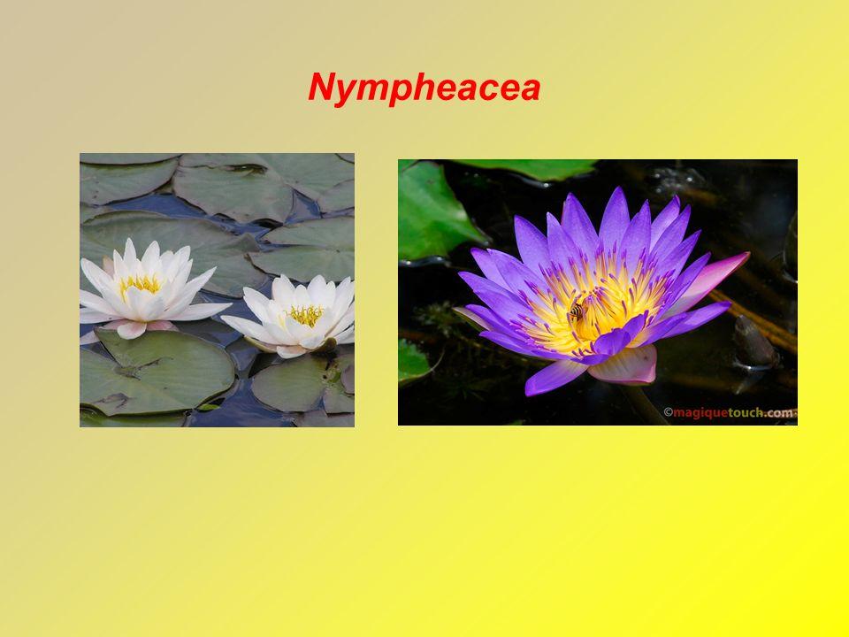 Nympheacea