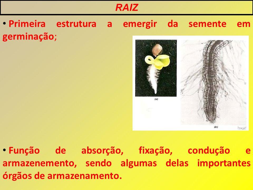 Primeira estrutura a emergir da semente em germinação;