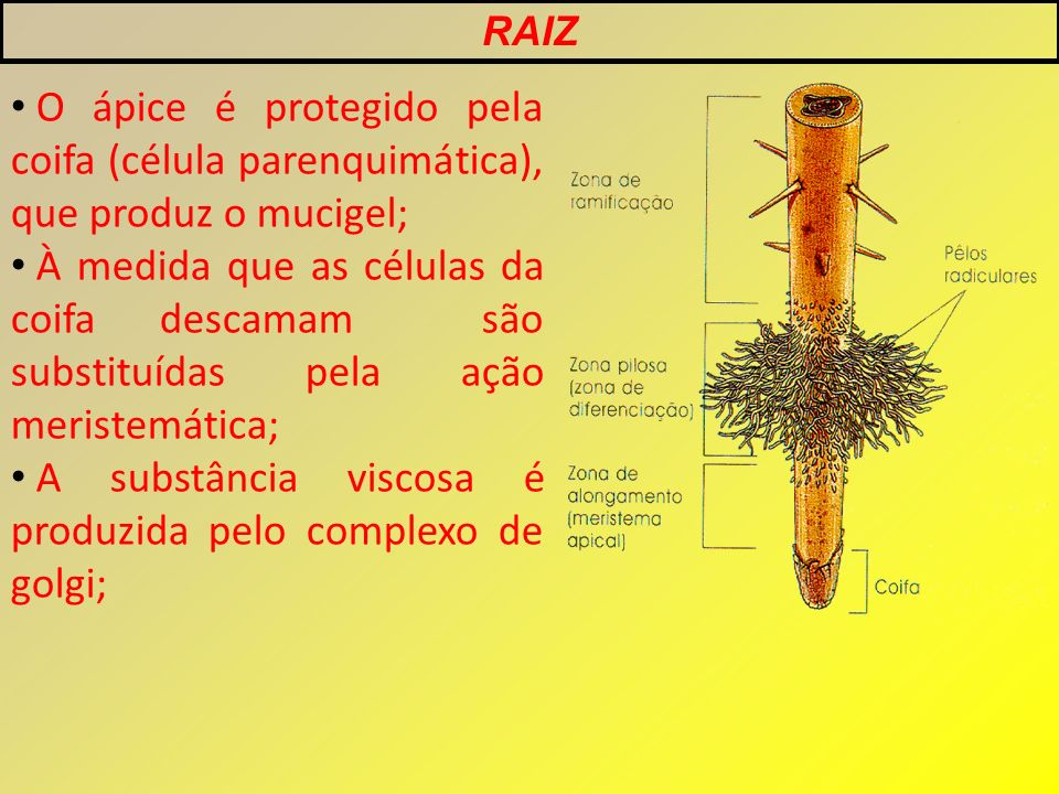A substância viscosa é produzida pelo complexo de golgi;