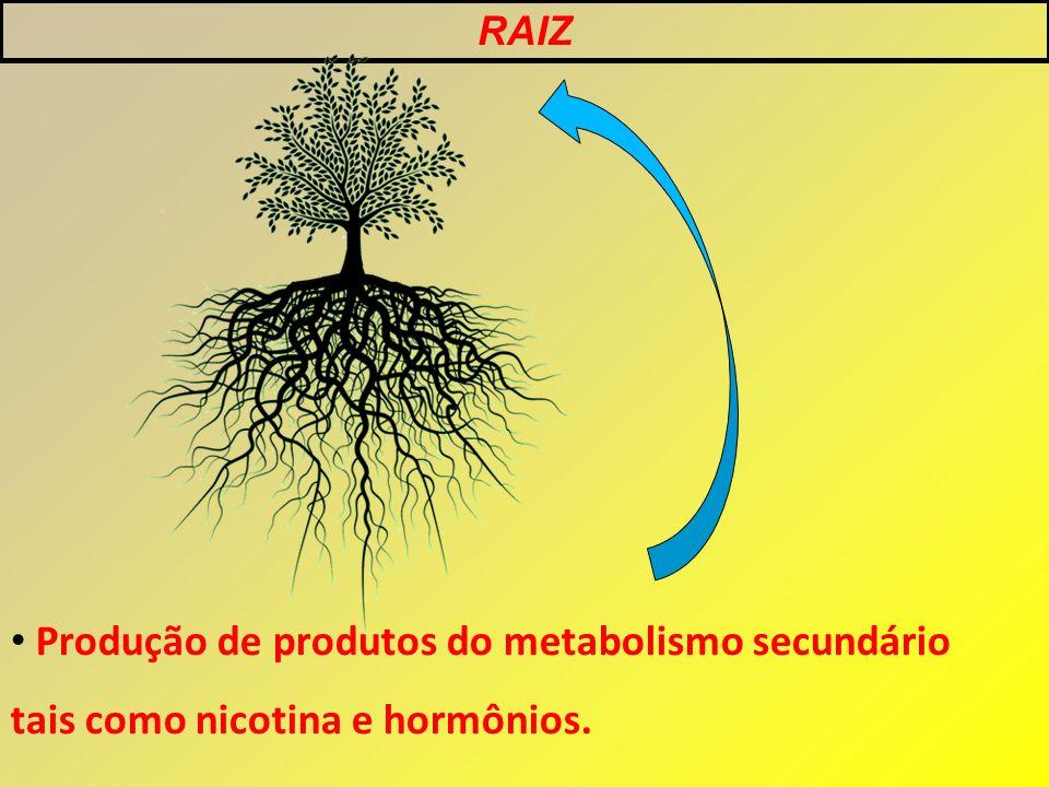 RAIZ Produção de produtos do metabolismo secundário tais como nicotina e hormônios.