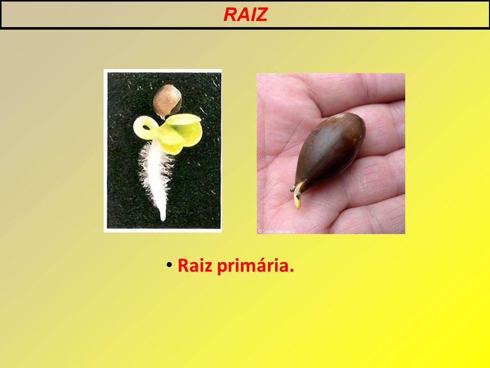 RAIZ Raiz primária.