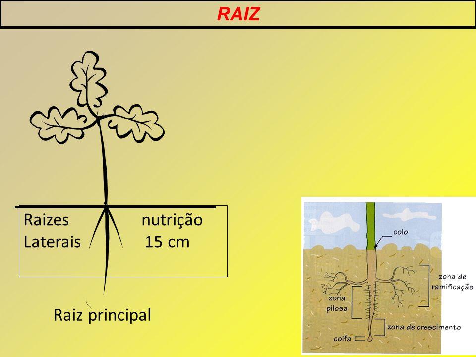RAIZ Raizes nutrição Laterais 15 cm Raiz principal