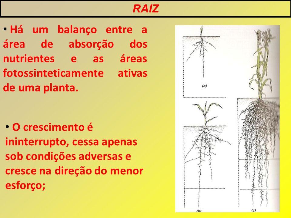RAIZ Há um balanço entre a área de absorção dos nutrientes e as áreas fotossinteticamente ativas de uma planta.