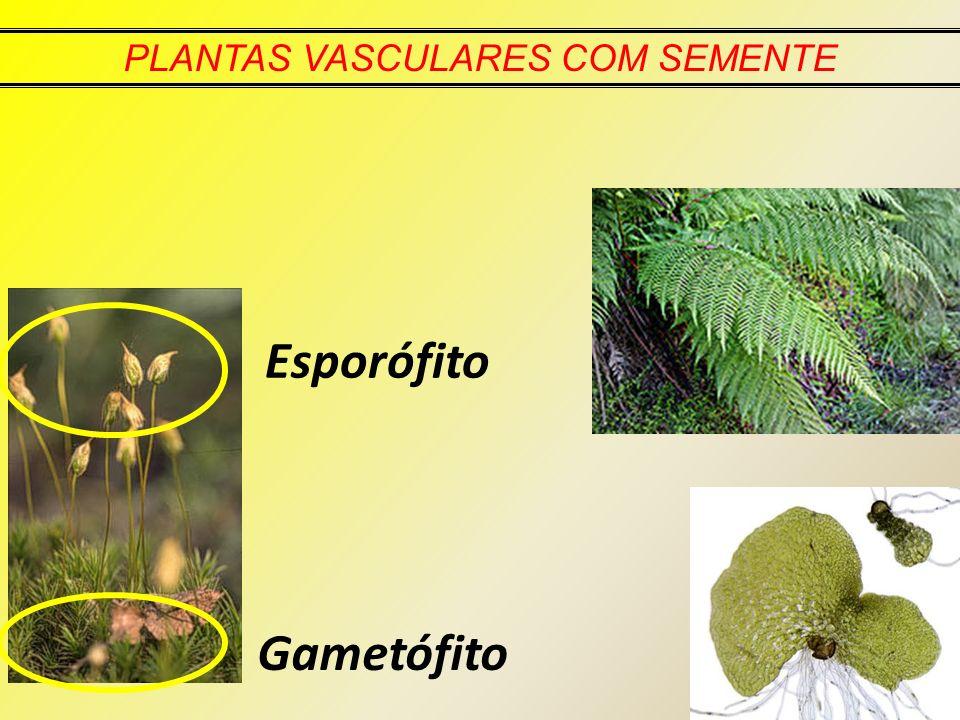 PLANTAS VASCULARES COM SEMENTE