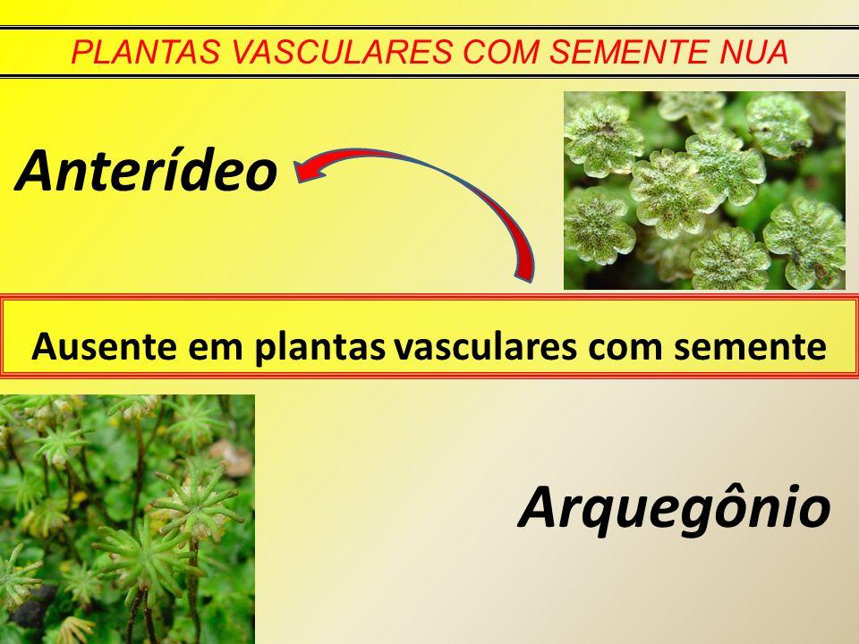 Ausente em plantas vasculares com semente