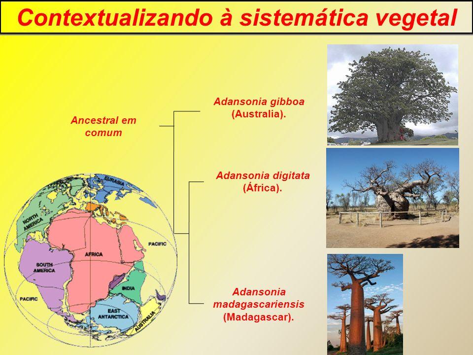 Contextualizando à sistemática vegetal Adansonia madagascariensis
