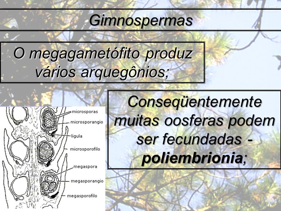 O megagametófito produz vários arquegônios;