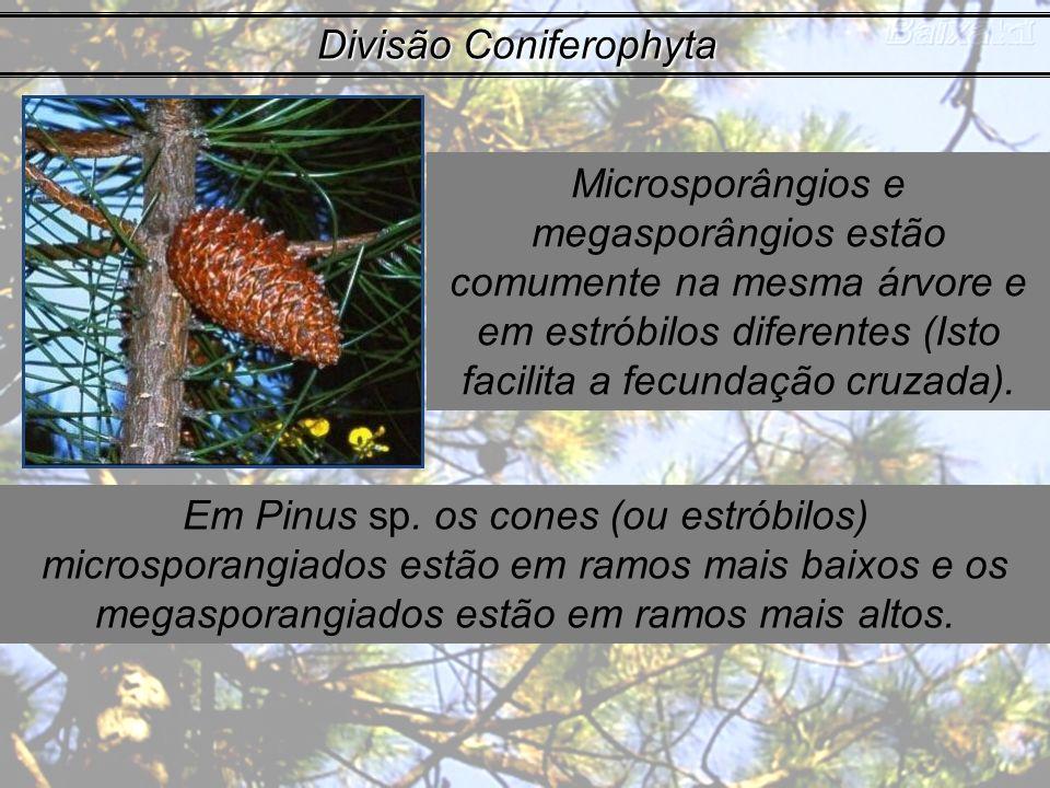 Divisão Coniferophyta