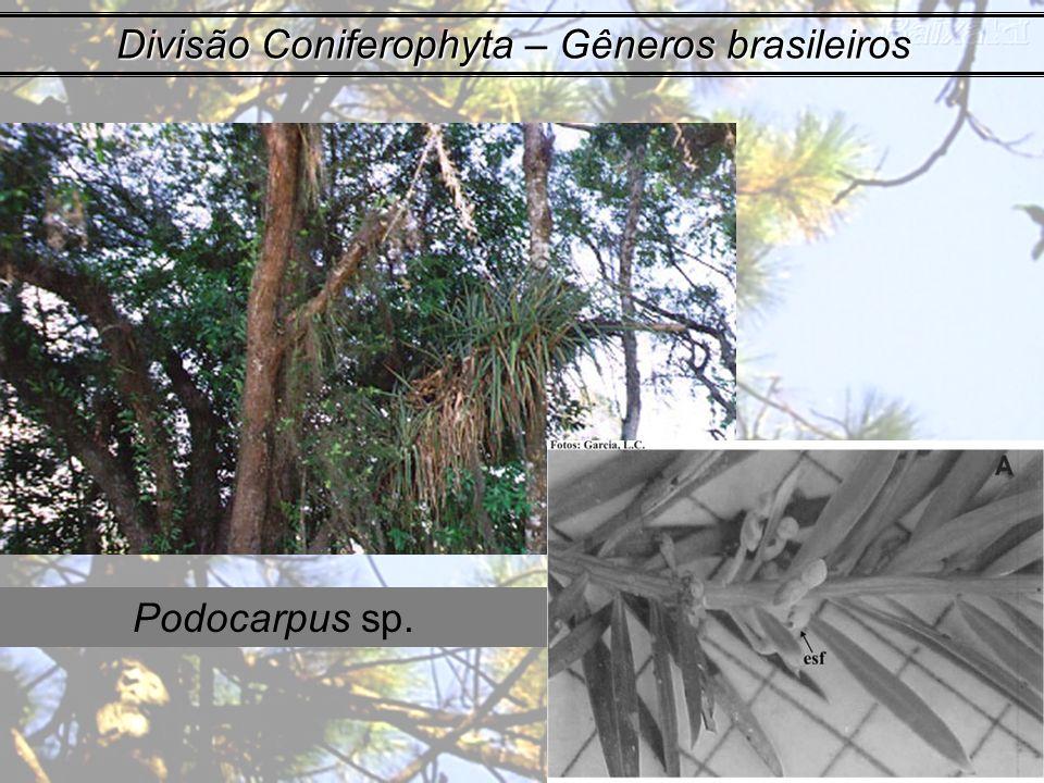 Divisão Coniferophyta – Gêneros brasileiros