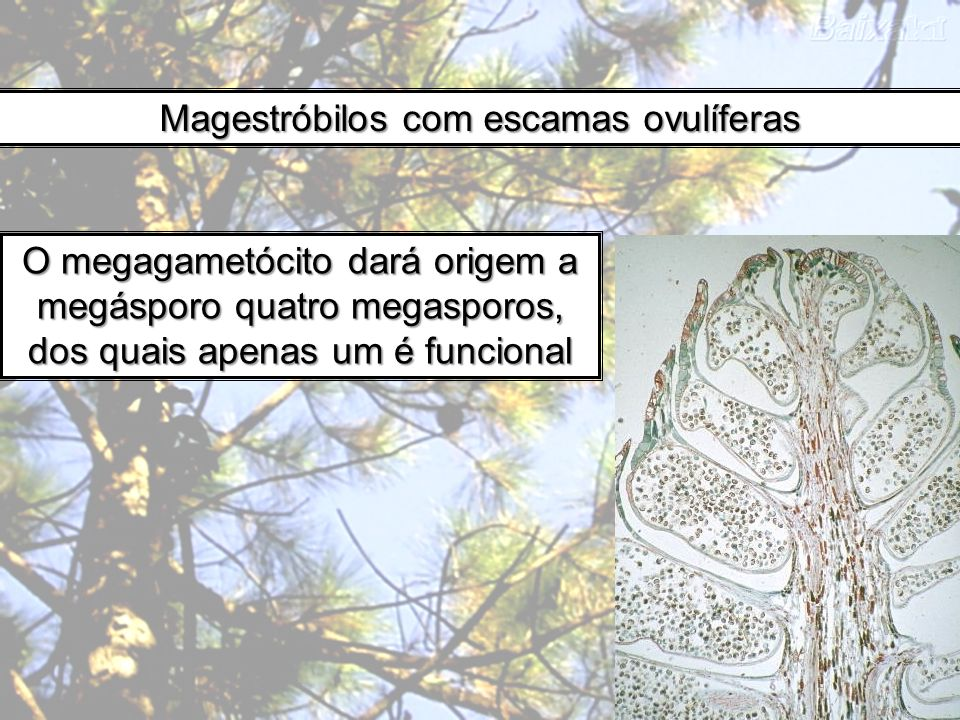 Magestróbilos com escamas ovulíferas