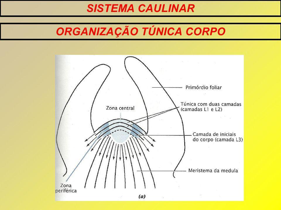 ORGANIZAÇÃO TÚNICA CORPO