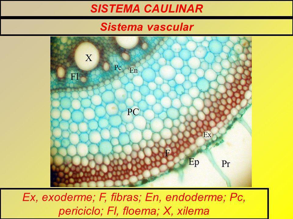 SISTEMA CAULINAR Sistema vascular.