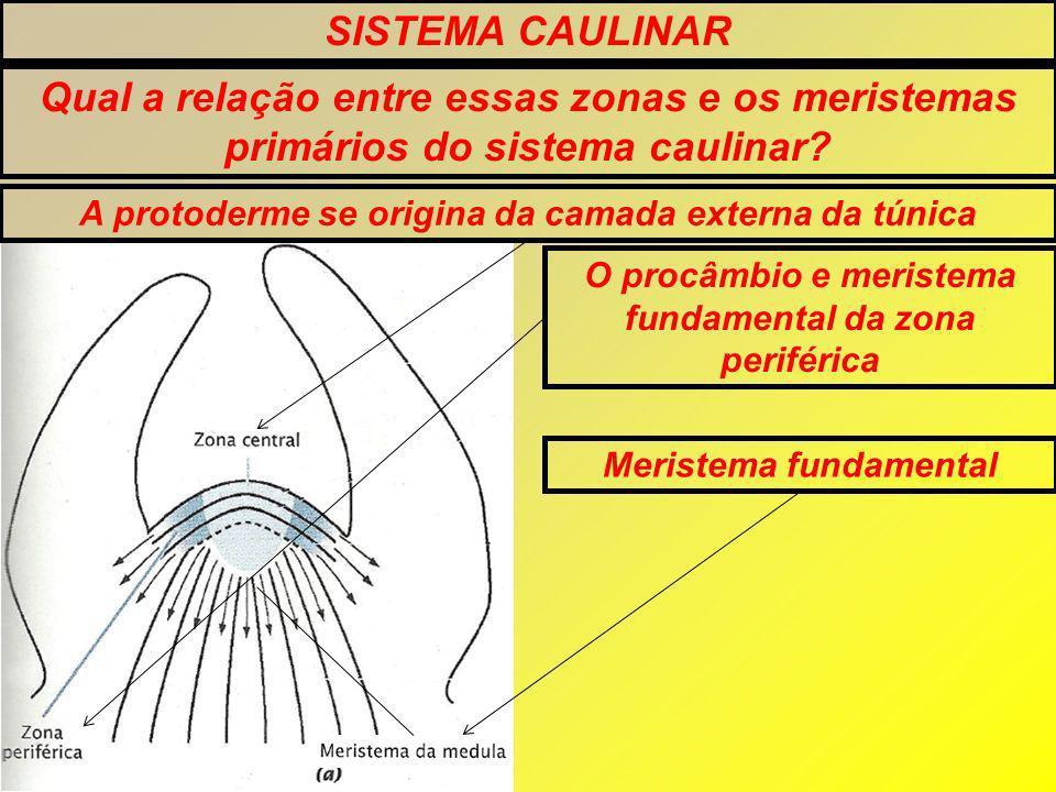 SISTEMA CAULINAR Qual a relação entre essas zonas e os meristemas primários do sistema caulinar A protoderme se origina da camada externa da túnica.