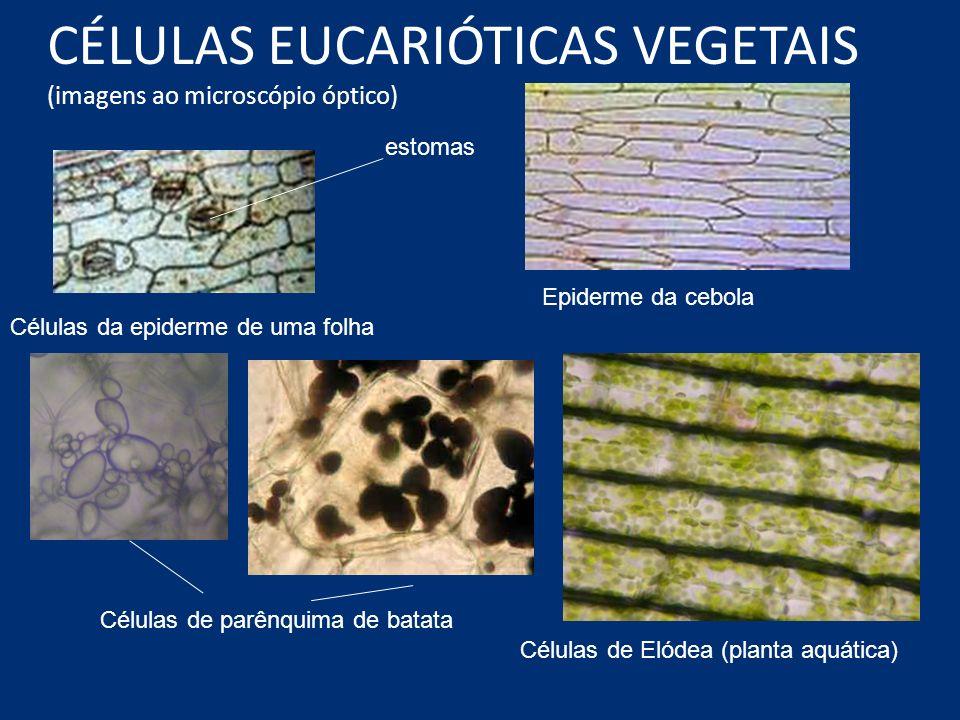 CÉLULAS EUCARIÓTICAS VEGETAIS (imagens ao microscópio óptico)